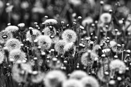 無料写真素材, 花・植物, タンポポ, 種子, モノクロ