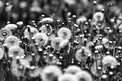 [Free Images] Flowers / Plants, Taraxacum, Seed, Black and White ID:201205241800
