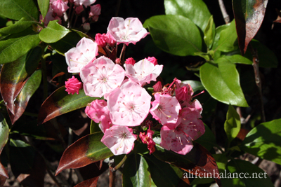 perennial bed renovation: mountain laurel