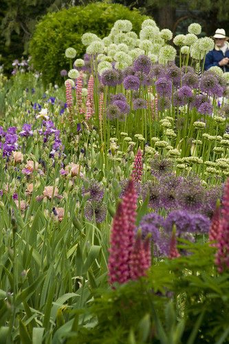 Tall Allium and Iris Bed