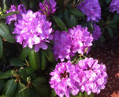 Rhododendrons in Bloom by randubnick