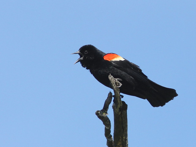 Red-winged Blackbird 20120524