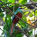 Rufous-tailed Jacamar (Ian Tulloch)