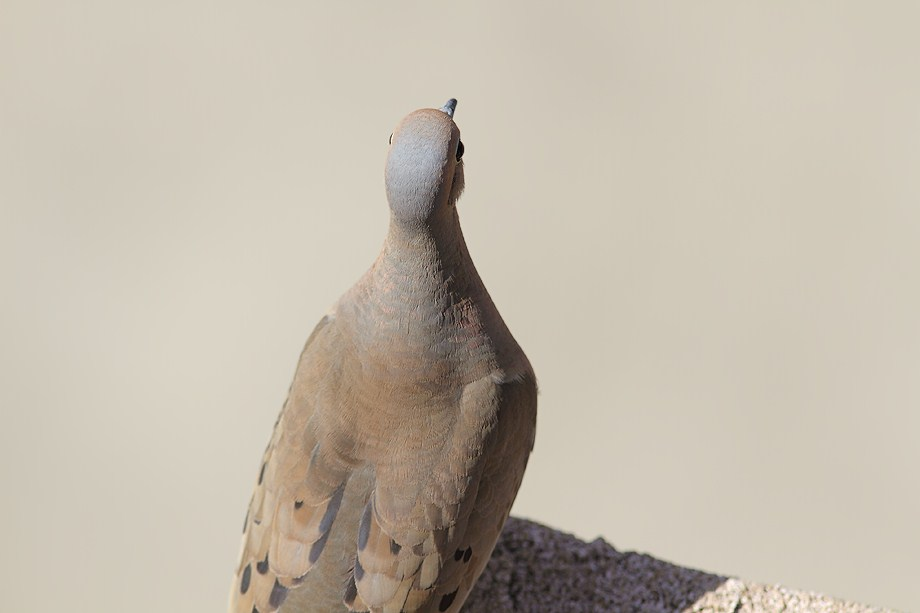 Mourning Dove 052512