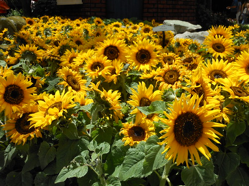 Bellagio - Dwarf Sunflowers