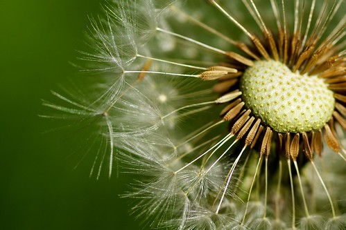 Taraxacum officinale (dandelion) seedhead; photo courtesy of Flickr CC/Paul Hudson