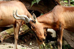 cattle-like mammal, animal, nature, mammal, horn, hartebeest, grazing, fauna, wildlife,