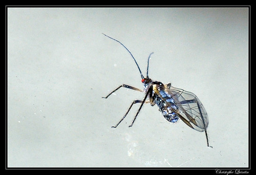 Aphididae