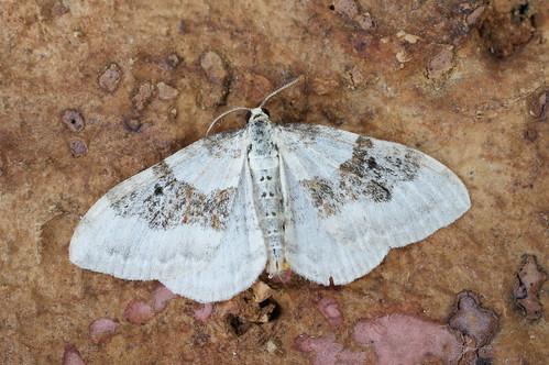 Silver-ground Carpet (Xanthorhoe montanata)