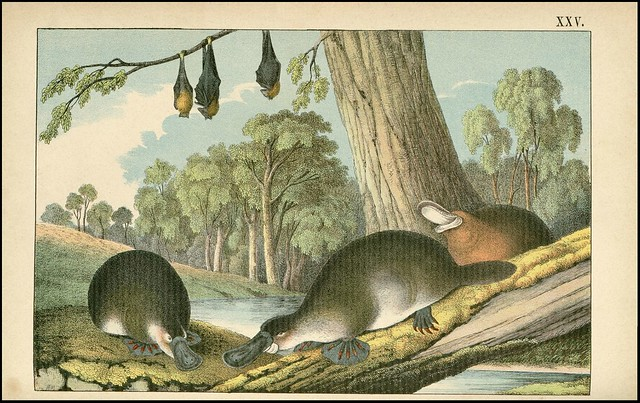 zoological chromolithograph - L'ornithorhynque