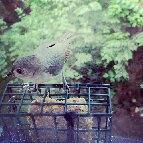 Titmouse fledgling