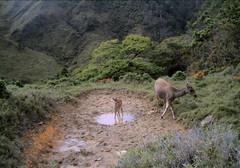 學者依據粒線體DNA序列,證實台灣水鹿有兩大類不同的遺傳族群,此一研究發現,可提水鹿保育參考。(攝影:林宗以)