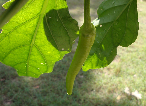 Baby banana pepper