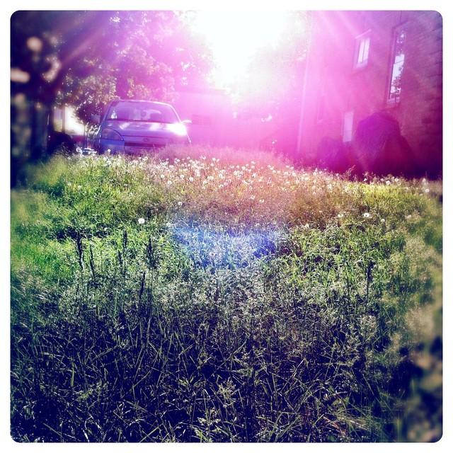 dandelion lawn pic evolution 4