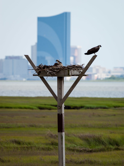Real Ospreys of Atlantic City