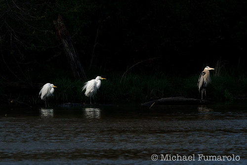 Heron & Egrets On The Rivers Edge - 03