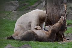 Eisbären Frimas und Pixel im Dierenrijk in Mierlo