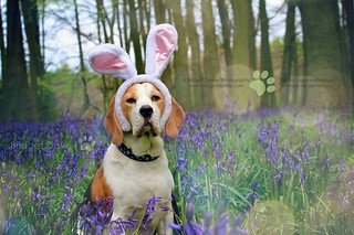 Happy Easter - Porthos Beagle at Bluebell Woods | Hertfordshire, England