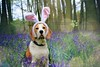 Happy Easter - PorthosBeagle at Bluebell Woods | Hertfordshire, England