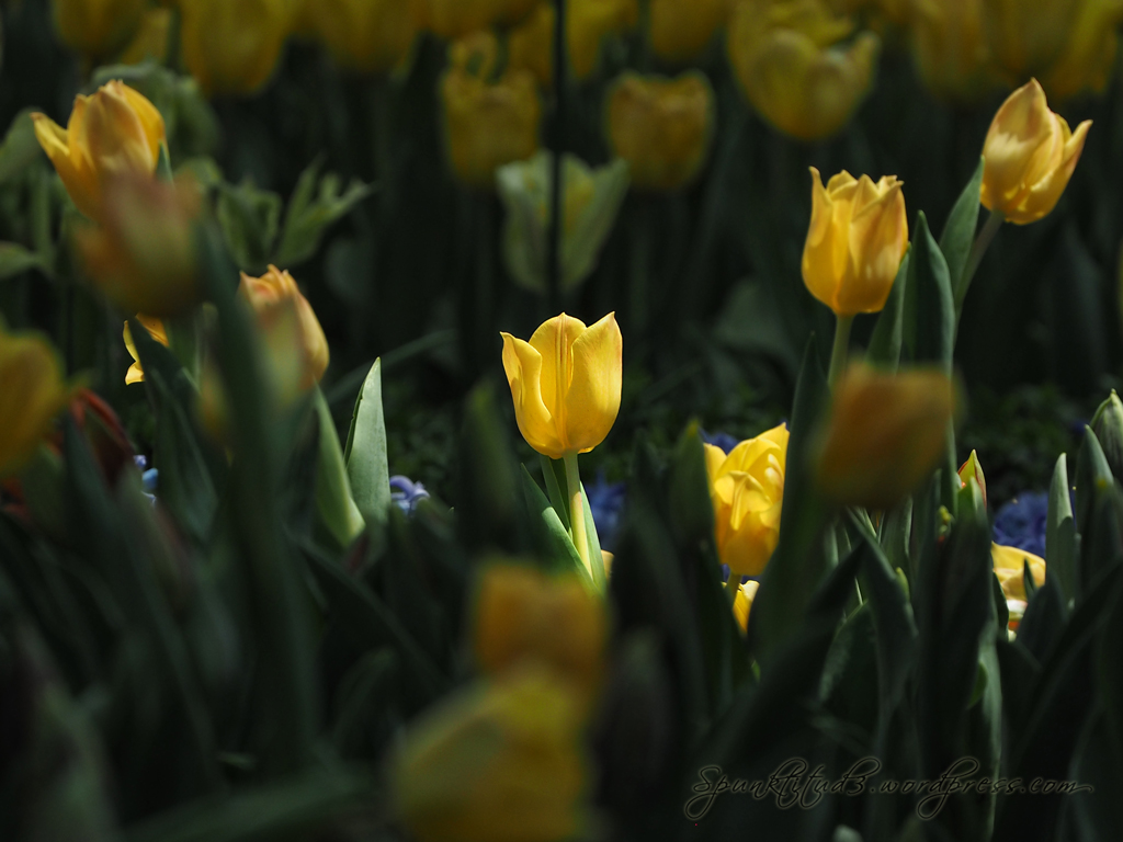 Tulipmania 2014 - Single Blooms