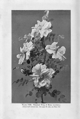 xanthina 1919