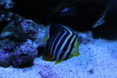 coral reef, coral, fish, coral reef fish, organism, marine biology, aquarium lighting, underwater, reef, blue, pomacentridae, pomacanthidae,