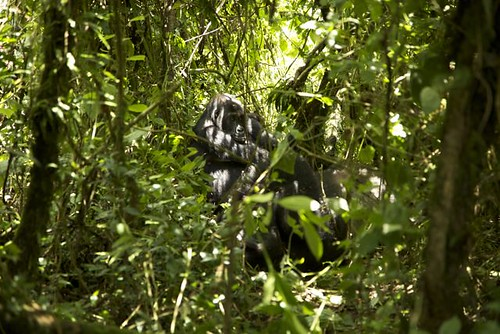 Gorillas in a thicket