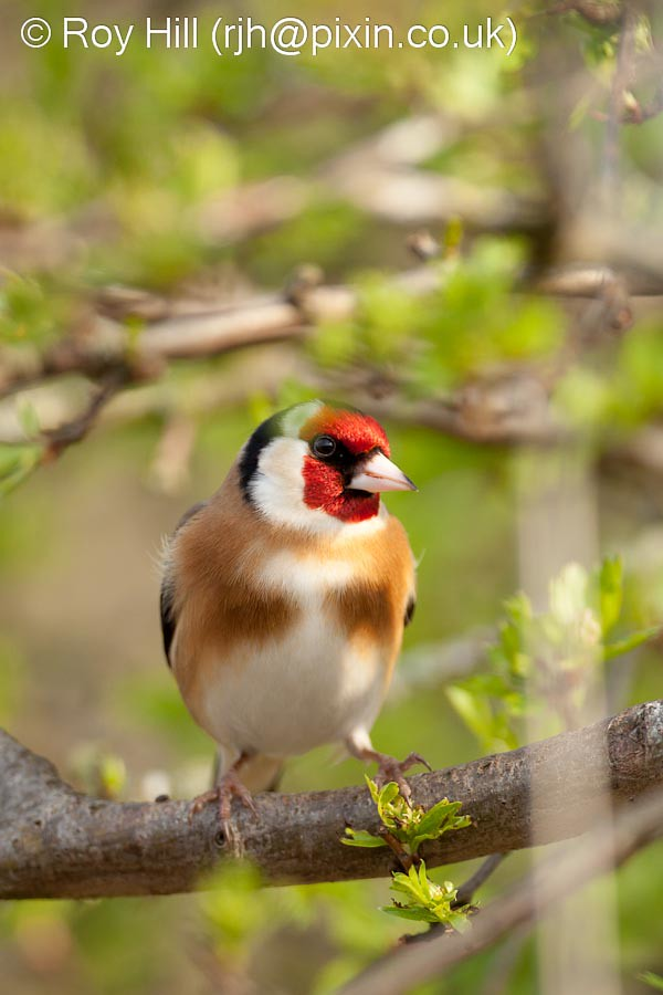 Mystery Bird European Goldfinch Carduelis Carduelis