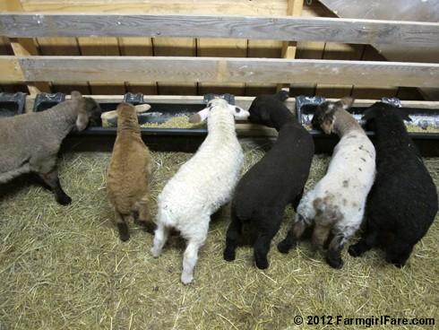 Random lamb snaps 6 - FarmgirlFare.com