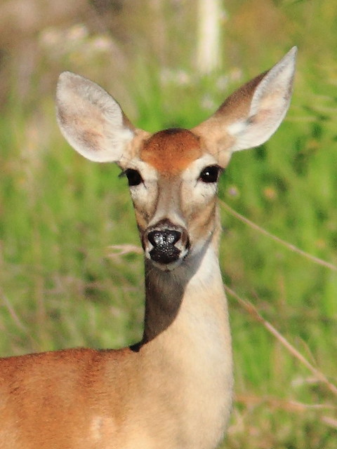 White-tailed Deer portrait 20120415