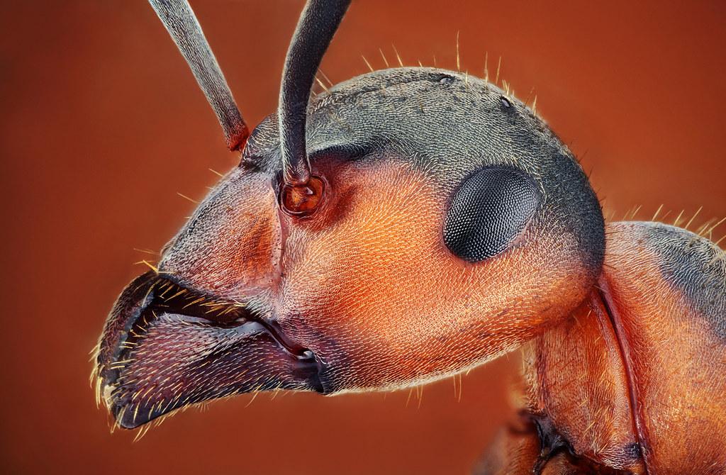 portrét mravca