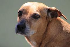 animal sports(0.0), hound(0.0), puppy(0.0), rhodesian ridgeback(0.0), dog sports(1.0), dog breed(1.0), nose(1.0), animal(1.0), dog(1.0), street dog(1.0), snout(1.0), mammal(1.0), close-up(1.0),