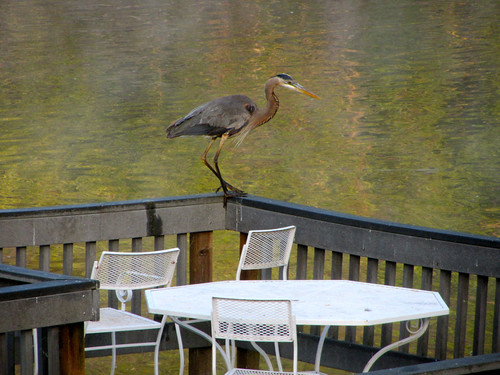 heron returns
