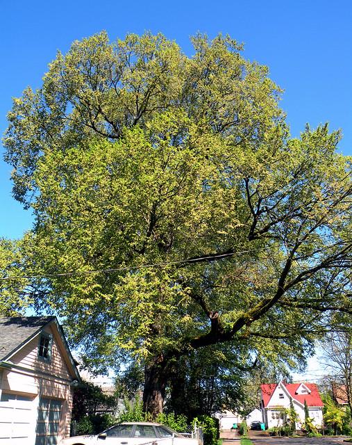 Large Spring Tree