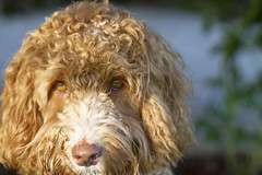 schnoodle(0.0), boykin spaniel(0.0), lagotto romagnolo(0.0), poodle crossbreed(0.0), irish water spaniel(0.0), spinone italiano(0.0), american water spaniel(0.0), miniature poodle(1.0), dog breed(1.0), animal(1.0), dog(1.0), mammal(1.0), cockapoo(1.0), goldendoodle(1.0), spanish water dog(1.0), barbet(1.0),