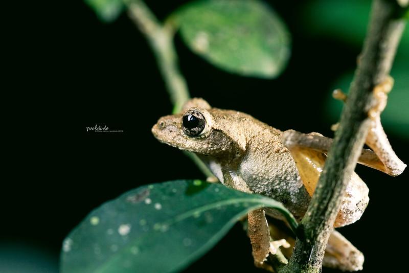 [nature] Meintein Tree Frog