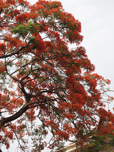 Reminds me of Sakura in Japan - Flame tree