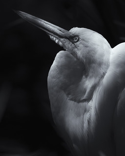 the gregarious snowy egret