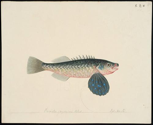 Lepidotrigla japonica (Bleeker, 1854)