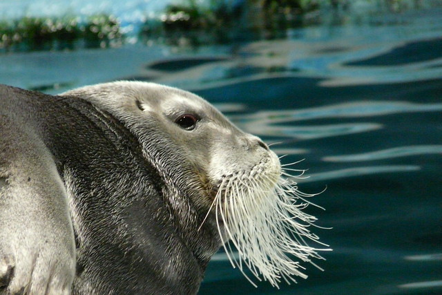 146/366: Bearded seal