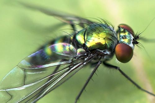 ngc longleggedfly familydolichopodidae blinkagain bestofblinkwinners photographybydavewendelken smallmetalicgreenfly