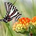 Zebra Swallowtail by gnagig