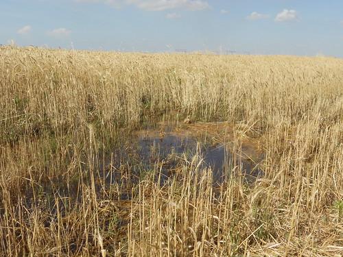 Standing water in field