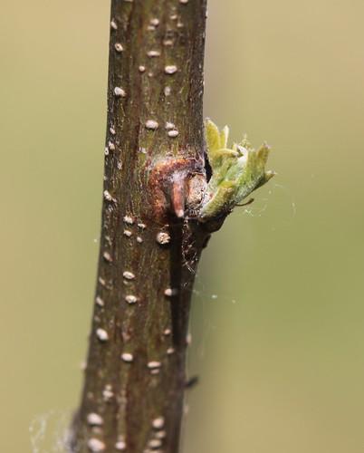 Locust Bud