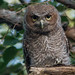 screech-owls-june2012-7