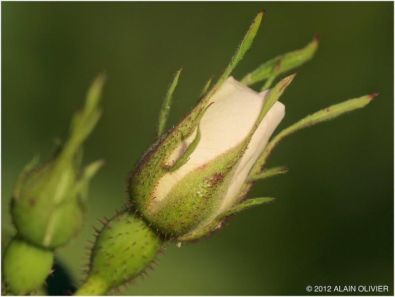 Bientôt une rose 7376410012_5863464f45_c