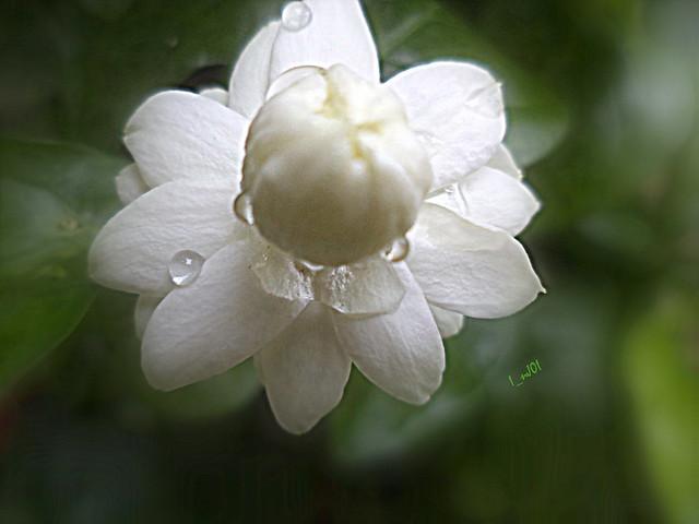 Mogra Flower | Flickr ... Jay Z