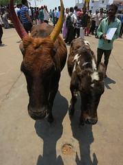 pair of cattle