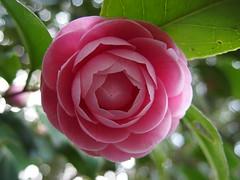 rosa 㗠centifolia(0.0), floribunda(0.0), garden roses(1.0), camellia sasanqua(1.0), flower(1.0), plant(1.0), macro photography(1.0), flora(1.0), camellia japonica(1.0), theaceae(1.0), pink(1.0), petal(1.0),