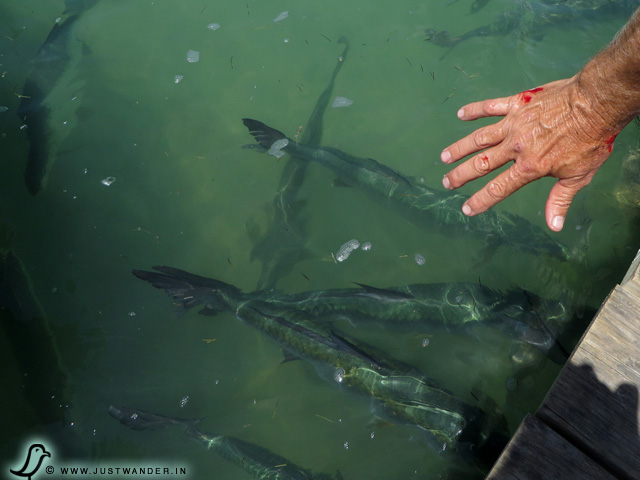PIC: Results of Bill's hand in the tarpon's mouth